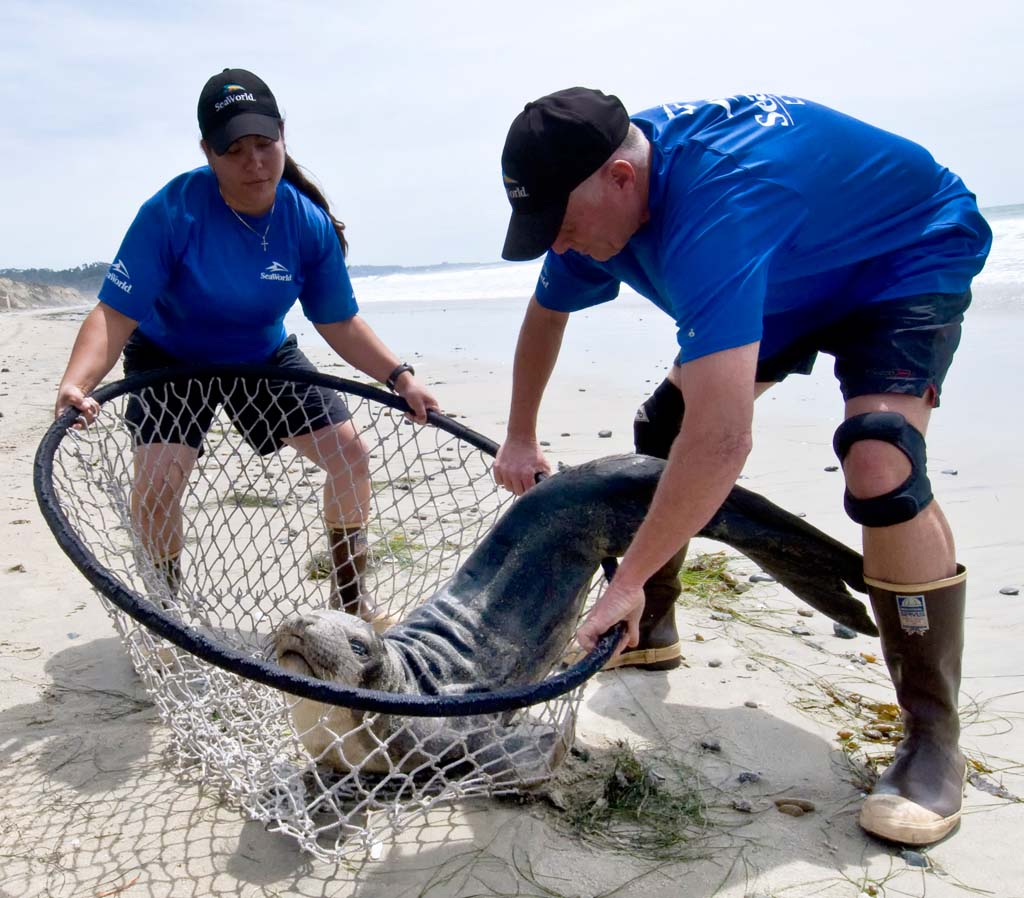 SeaWorld rescue teams have been busy responding to calls of stranded sea lion pups and other marine animals over the last several weeks. Photo by Mike Aguilera/SeaWorld® San Diego