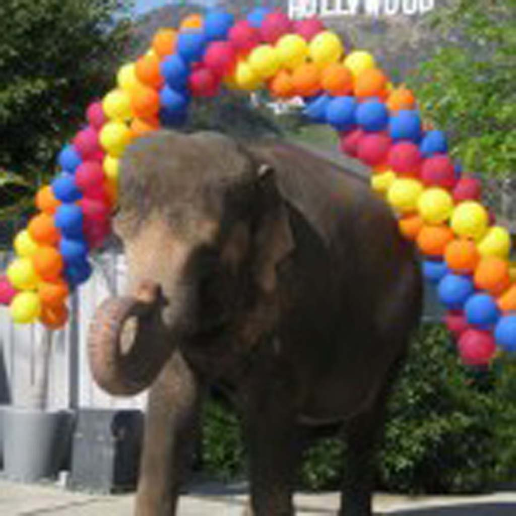 Tai, one of five elephants owned by Have Trunk Will Travel, has appeared in several films. The company recently announced it will not provide pachyderm rides at this year's fair. Photo courtesy of have Trunk Will Travel