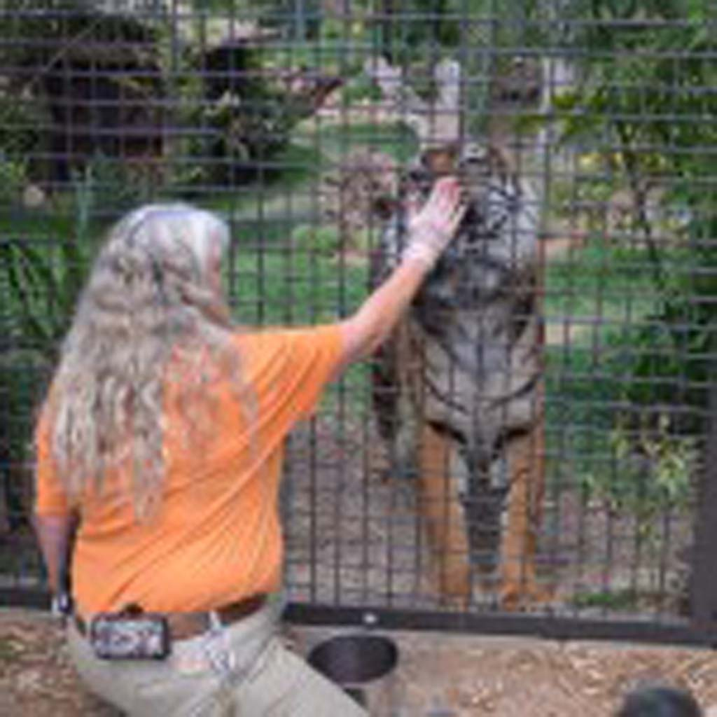 Safari Park tiger keeper Janet Lawhon rewards 10-year-old male Sumatran tiger Teddy for following her directions to sit up. Photo by Rachel Stine