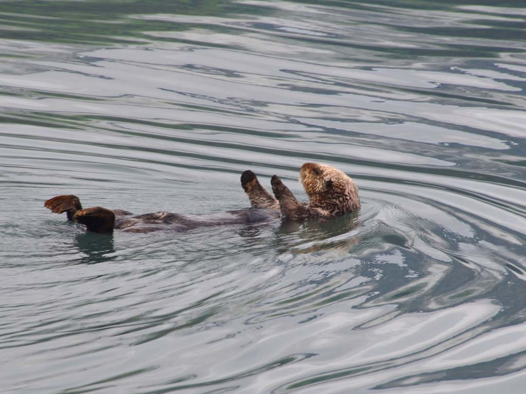 An otter lounging in the Gulf of Alaska near Seward seems unbothered by the boatful of tourists trying to get his photo.