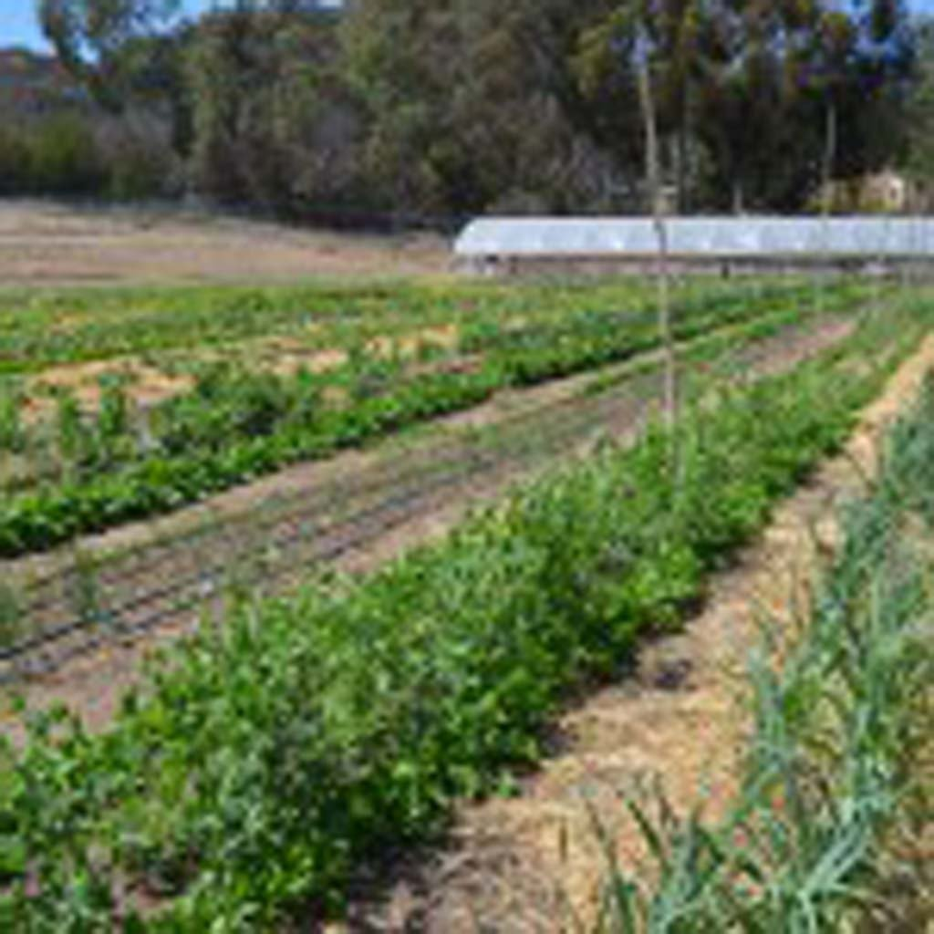 """A proposed ordinance in Encinitas may pave the way for the city to return to its agricultural roots by setting up a new type of permit that would allow recipients to have even larger farms and gardens, sell from larger stands and host twice as many so-called """"agri-connect"""" events per year. File photo"""