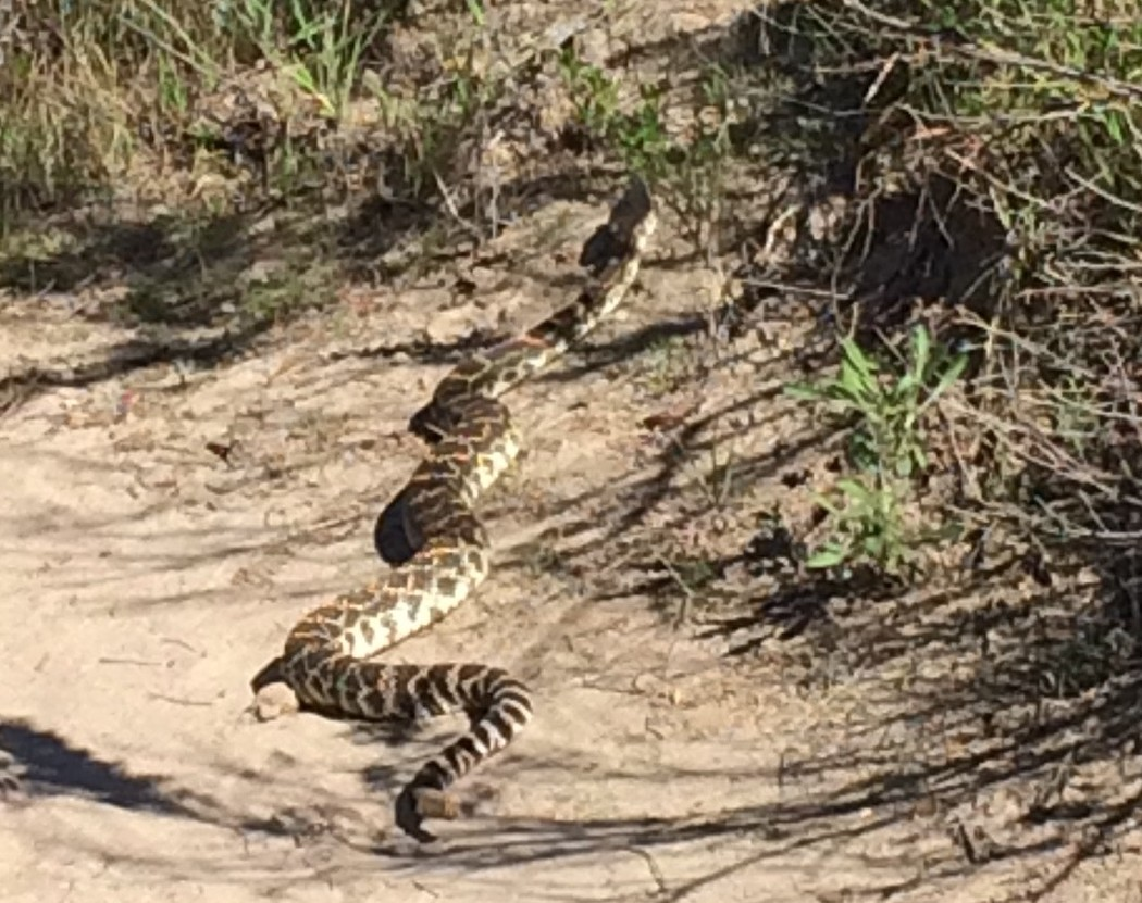 Joanne Goss and her husband encounter a large rattlesnake on the trails of San Elijo near the campus of MiraCosta College. Photo courtesy Joanne Goss