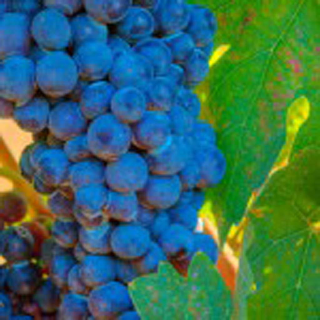 Blended wines are rising quickly in popularity in the U.S. Cabernet, shown above, is the leading grape in most blends. Photo courtesy Daou Vineyard
