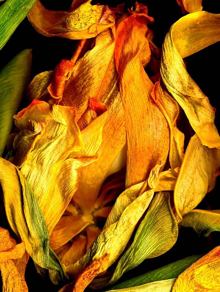 On display in the 100 Artists, 100 Years exhibition at Oceanside Museum of Art through July 26, 2015: Faiya Fredman, Yellow Tulip 2, 2007, Pigment print on watercolor paper, 40 x 30 inches. (Courtesy of the artist.)