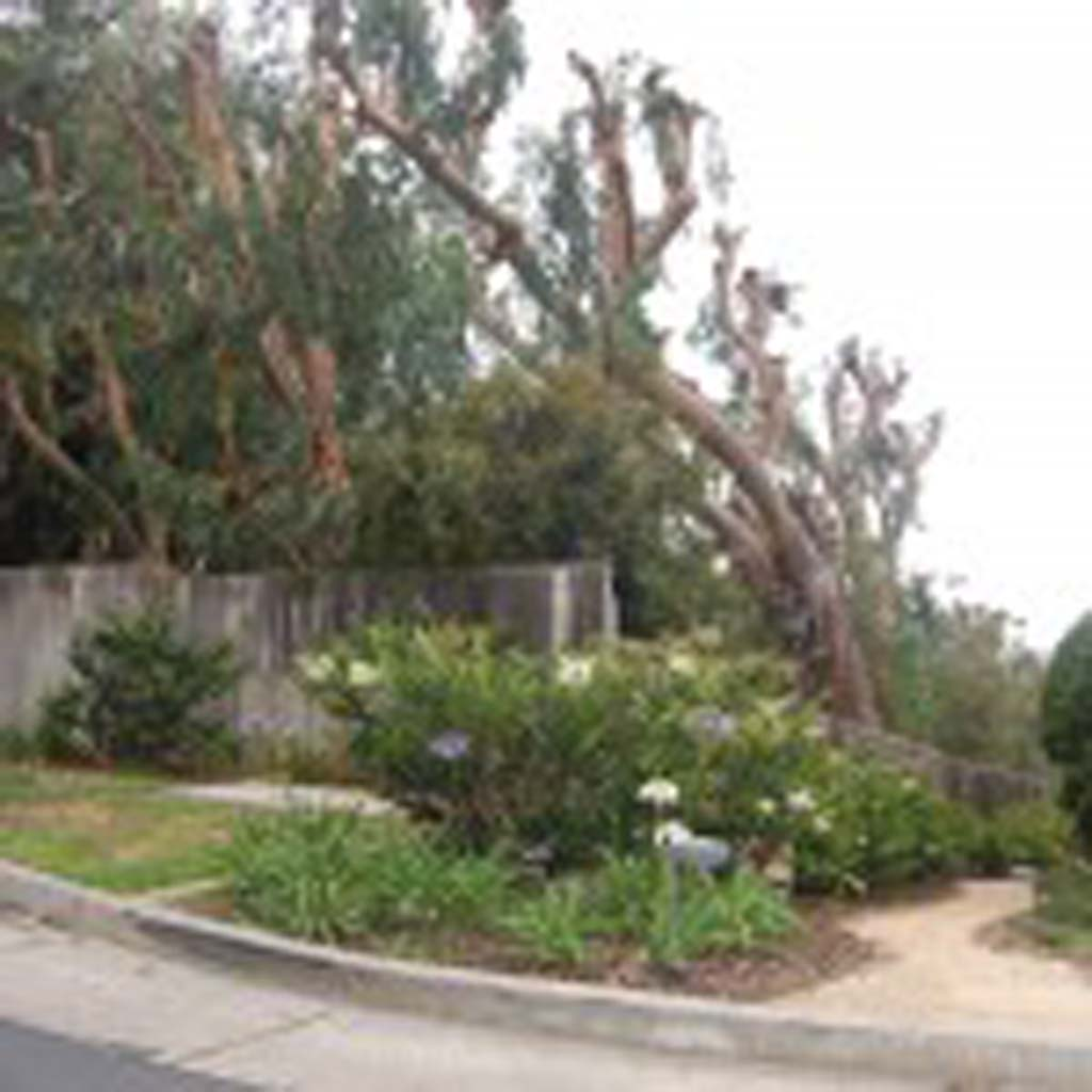 Residents express concern that blue gum eucalyptus trees on property at 110 Stratford Court are creating a fire hazard, wasting water and blocking views. Some have hired an attorney and are urging the city to have them removed. Photo by Bianca Kaplanek