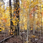 AspenGroveAutumn – Hurry to Big Bear Lake in the San Bernardino Mountains to see the aspens in all their autumn finery. [Photo by Dennis Benston]