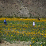The fields of desert sunflowers along Henderson Canyon Road mimic an impressionistic painting. (All photos by Jerry Ondash)
