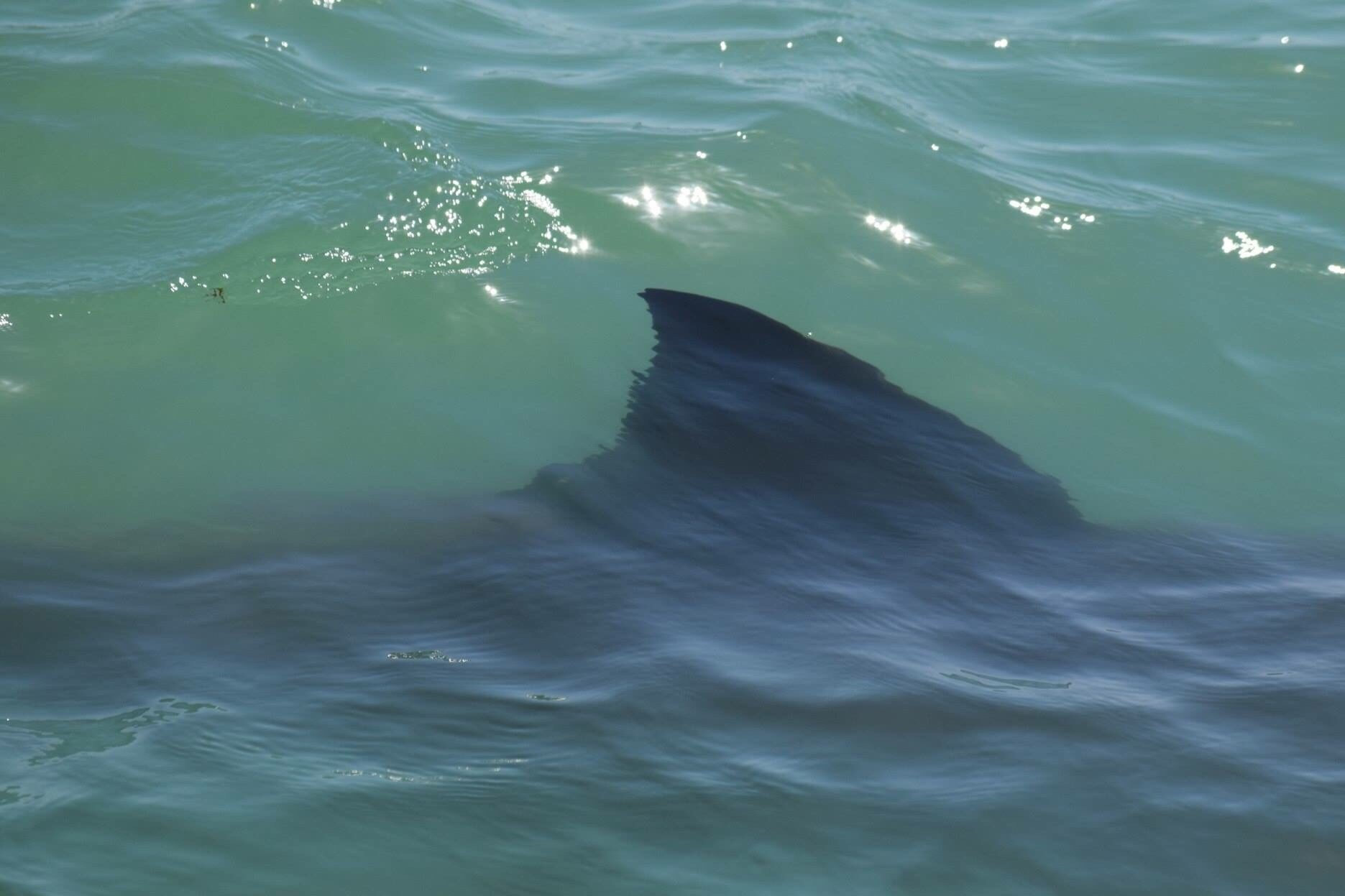 Photographer Eric Frigger captured a close-up of the fin of a juvenile great white shark, one of a dozen swimming off the Orange County coast recently. Long-time residents say they haven't seen such high numbers of sharks in the area during their lifetime.