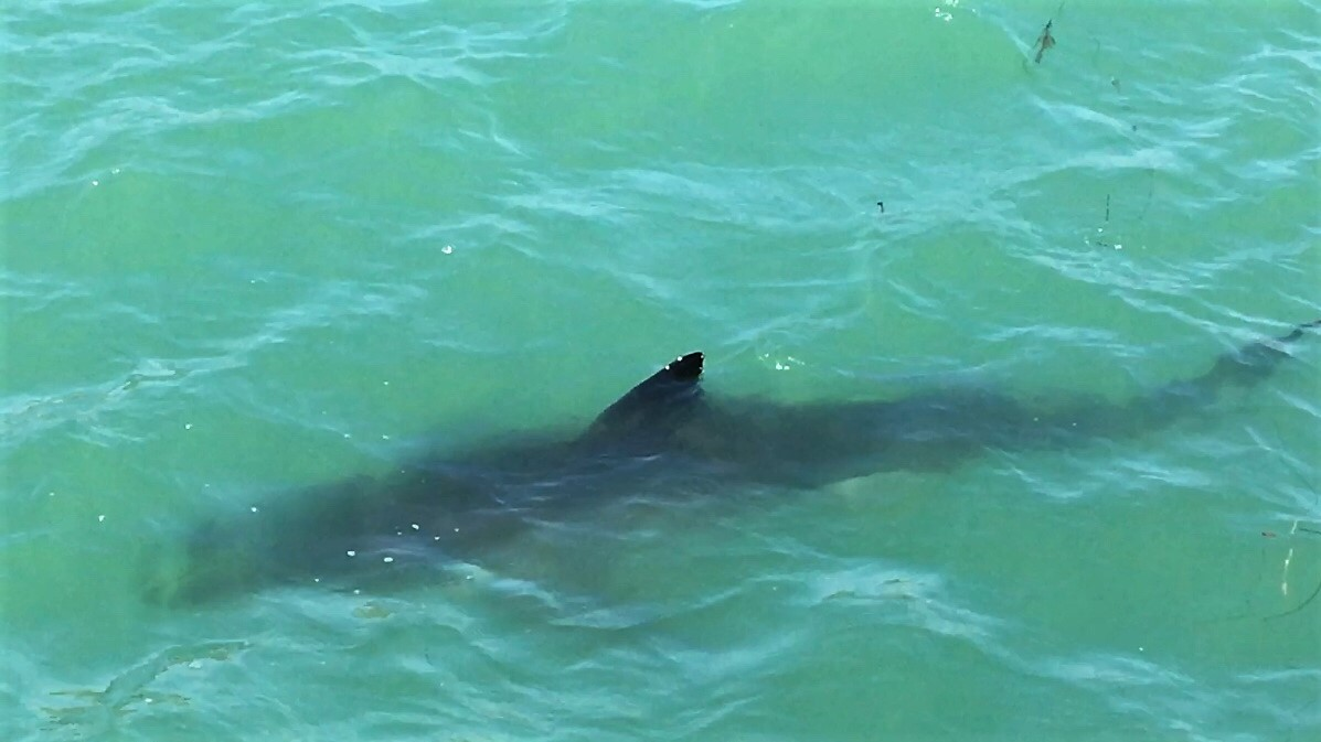 Photographer Robin Lowe caught this juvenile great white shark in shallow waters just north of the San Clemente Pier. The sharks are grey on the top; white on the bottom.