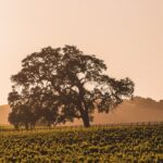 Paso Robles vineyard