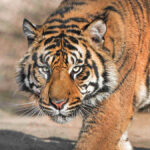 Some of the tigers at San Diego Zoo Safari Park have had a cough and their fecal matter yielded a positive SARS-CoV2 PCR test result.